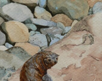 Baby seal, original watercolor painting, small 7x 5 in., in blue and brown tones, from the Kaikoura coast of New Zealand.