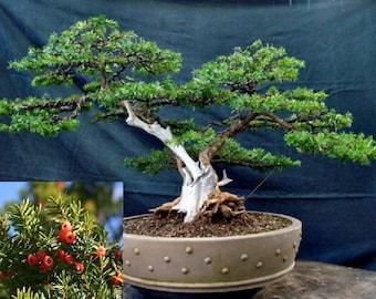 Taxus Cuspidata * Japanese Yew * Japones Tejo *Evergreen Bonsai Tree Fresh 10 Seeds