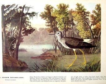 Ivory Gull, Lesser Yellow Legs - Audubon Bird Print -12 x 9 - 1942 Vintage Book Page