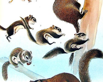 Animal Print - Ground Squirrel, Woodchuck, Prairie Dog, Flying Squirrel, Scaly Tailed Squirrel - 1973 Vintage Book Page - 10 x 7