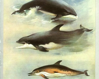 White-beaked Dolphin, Bottle-nosed Dolphin, Vintage Print, Thorburn Painting 1919, Plate 50, Natural History, Woodland, Frameable Art