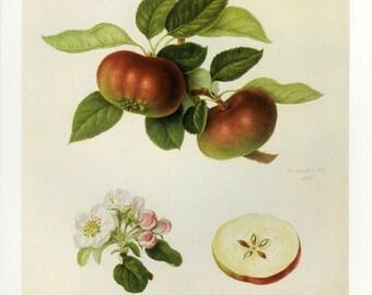Apples Print by William Hooker Book Plate SALE Buy 3, get 1 Free
