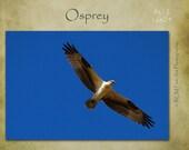 Osprey, Nature, Wildlife, American Animal, Bird, Raptor, Bird of Prey, Fish Eagle, Sea Eagle, Blue, Bird Art, Blue Decor, Wings, Feather