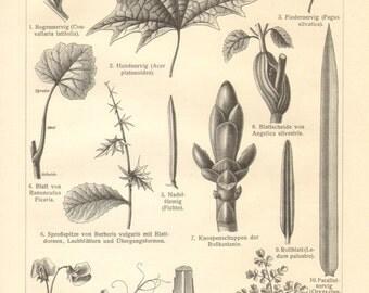 1908 Vintage Print of Leaf Shapes and Variations in Flower Structure