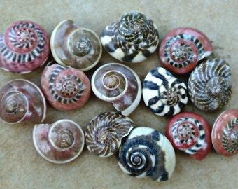 Red Patterned Shells Small Tiny Mix Colored Patterned Nerite Snail Seashells Black White Striped  - Florida - Mosaic - The Sandbar