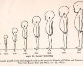Items similar to Vtg Human Growth Chart or Teeth Illustration ...