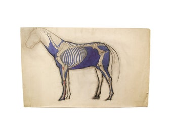 Vintage Original Anatomical Horse Study
