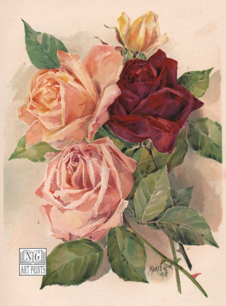 1800s Antique Rose Print Vintage Botanical Flower Lithograph