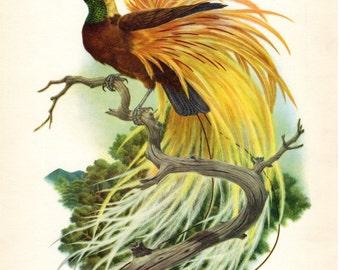 Bird of Paradise Vintage Bird Print Axel Amuchastegui 1959 Antique Bird Print Ornithology Nest