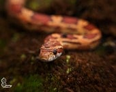 Red Corn snake, Fine Art Photography, Red, Home Decor, Canvas photo, Wildlife, Snake, For him, Macro photography, Reptile Art,Office decor - SammyPhoto