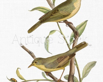 Bird Digital Download - Melodious and Icterine Warblers Image 1849 - Download and Print, Iron on Transfer, Scrapbooking, Crafts, Invites...