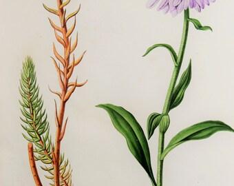 Antique Botanical Print, 1870s Alpine Chromolithograph by David Wooster - Yellow Sedum, Mauve Aster