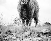 Highland Cattle 2 - Fine Art Photography - Wall Décor - Nature Photography