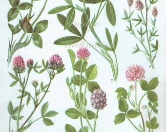 CLOVER pink Vintage Botanical Print Antique, plant print 115 botanical  print bookplate art print, herb plants plant wall print