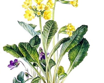 Oxlip Flower Print - 1969 Vintage Colored Botanical Illustration - 6 x 9 Book Page