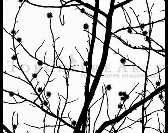 Black And White Tree Silhouette Photography, Tree Photography, Winter Tree Wall Art, Bare Tree Art Print, Sweet Gum Art, Liquidambar