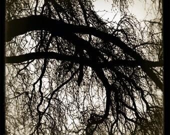 shilshole tree no.2