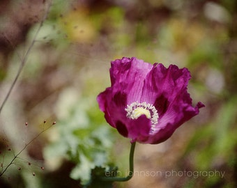 purple poppy flower photography, large living room wall art, nature photograph, floral art - Lonely Poppy