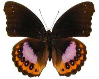 Purple Diadem Butterfly, Hypolimnas pandarus, spread for your project or laminated