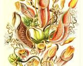 Ernst Haeckel Scientific Illustration of Pitcher Plants, a printable digital image no. 1675