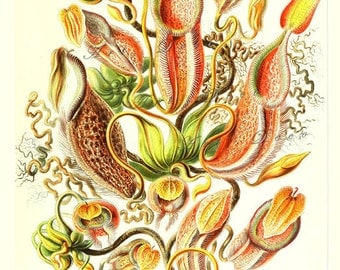 Ernst Haeckel art print of Pitcher Plants, a printable digital image no. 1675