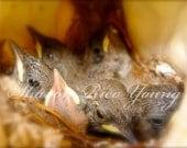 Digital Download Image Birds in Nest Fledglings Photography