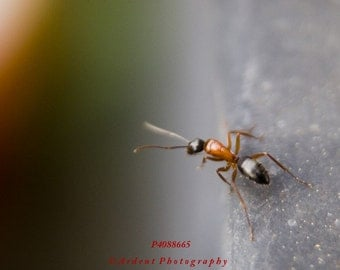 Macro Red Ant Photograph Wall Art Room Decor Unique perspective - Ant on the Edge - Fine Art Photograph by Sarah McTernen