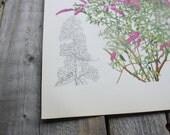 Botanical Print, Purple Buddleia, Butterfly Bush, Shrub and Tree Studies  1949