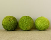 Natural Home Decor - Nature Photography - Still Life Photograph - Hedge Apples - Green and Tan - Nature Art Photo - 8x8 or 8x10