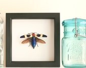 Red Speckled Jewel Beetle Natural History Insect Display