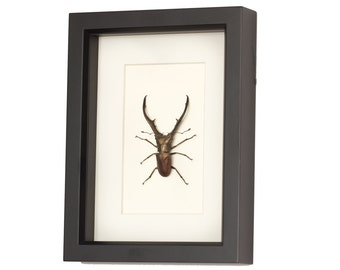 Giant Stag Beetle Archival Mat Insect Display