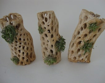 7 Air Plants in Dried Cholla Cactus - Set of 3 - Mount or Sit - All Natural Living Wall Art - Home Decor, Beach, Wedding, Guest Favors