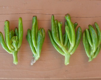 Finger Jade Succulent Cuttings, Crassula Ovata