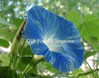Flying Saucer Heavenly Blue And White Striped Morning Glory and Morning Glory Bud-4x6 Original Photograph-Nature's Art-Gifts Under 10