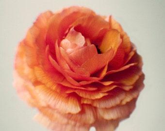 Ranunculus Print - Flower Still Life Photography - Orange Wall Art