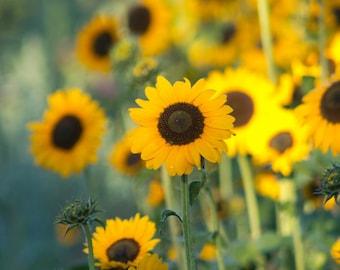 Summer sunflowers photograph - Summer sun fine art print - New England photography, yellow, green, brown, rustic country decor, nature photo