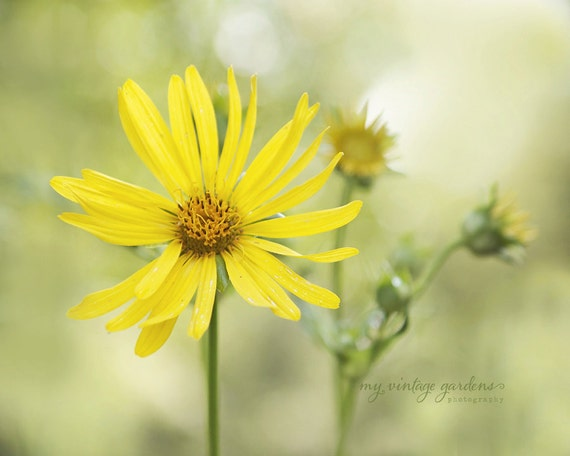 lovely yellow daisies-flower photography - flower photo- cottage garden photo (5 x 7 Original fine art photography prints) FREE Shipping