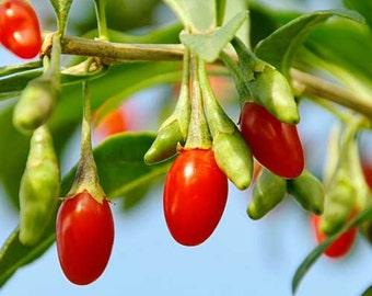 Ningxia Goji Berry Seeds - Untreated and Non-GMO