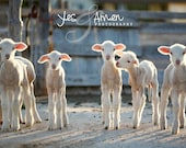 blessed friendship - fine lamb photography - farm fresh cards