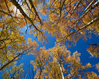 Towering Autumn Aspens  (multiple sizes available)