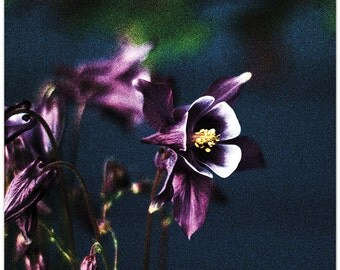 Nature Photography, flowers, columbine, Washington, I am Beautiful too