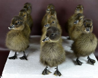 taxidermy of 10 black ducklings