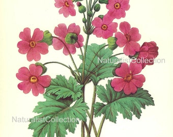 BOTANICAL PRINT 1981 Redoute Art Print 113 Pink Chinese Primula Primrose Flower Garden Nature to Frame french antique writing