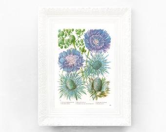 6x9 Vintage Pincushion Flower Botanical Print Encyclopedia Illustration Purple Green Wildflower British Educational Learning flower botWF