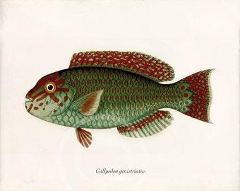 Antique Fish Art Print - 8x10 - Callyodon genistriatus