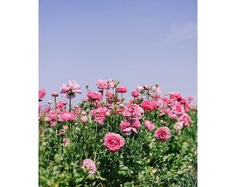 Pink ranunculus photograph - flower field photograph - pink ranunculus art print - flower photography - nature photography - pink wall art