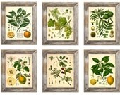 Set of 6 Fruit Botanical Prints - Multiple Sizes Available!
