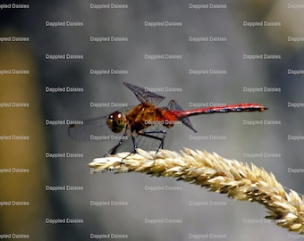 "Photograph ""Wing of a Dragonfly""."