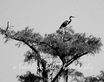 Black and White Bird in Tree Bayou Photography Moss Cypress Trees 8x10 Swamp Lake Photo Water Red Tree Louisiana Bayous Art Print 6