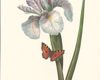 vintage botanical print by Pierre Redoute, Blue Iris, shabby chic home decor.
